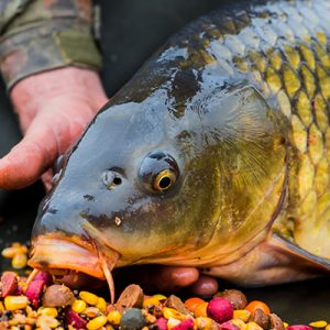 British Carpers Carp Fish